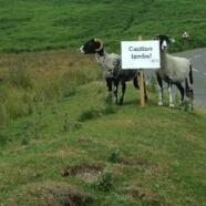 Caution! Lambs!