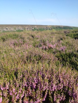 Burbage heather