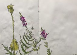 Poppy seed head and pretty weeds - sketch by Sian Hughes