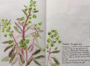 Euphorbia in my garden - sketch by Sian Hughes