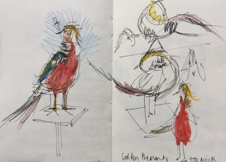 Golden Pheasants at Graves Park, Sheffield - sketch by Sian Hughes