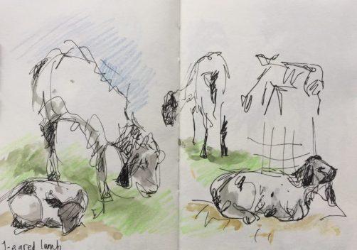 Lambs at Graves Park, Sheffield - sketch by Sian Hughes