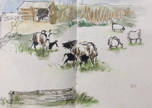 Sheep and lambs at Graves Park, Sheffield - sketch by Sian Hughes