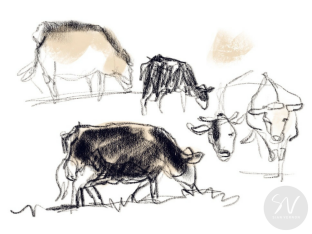 Simmental cows, East Yorkshire - digital sketch by Sheffield artist Sian Vernon