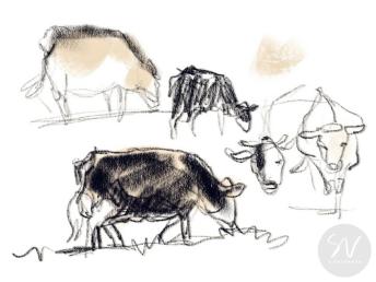 Simmental cows, East Yorkshire - digital sketch by Sheffield artist Sian Vernon