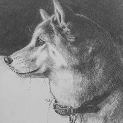 Kiku Shiba Dog portrait in graphite pencil by portrait artist Sian Vernon