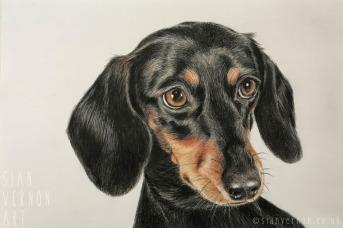 Dachshund dog portrait by Sian Vernon Art