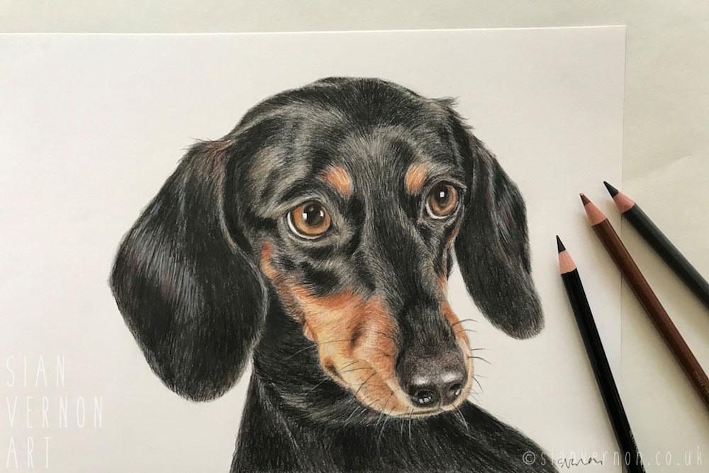 Dachshund dog portrait (work in progress) by Sian Vernon Art