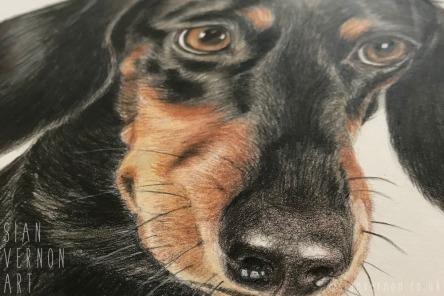 Dachshund dog portrait (detail) by Sian Vernon Art