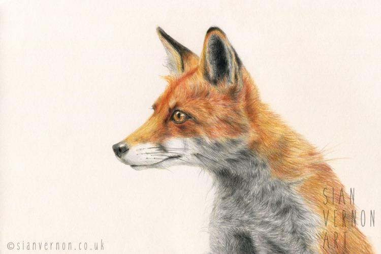Fox drawing by Sheffield artist Sian Vernon