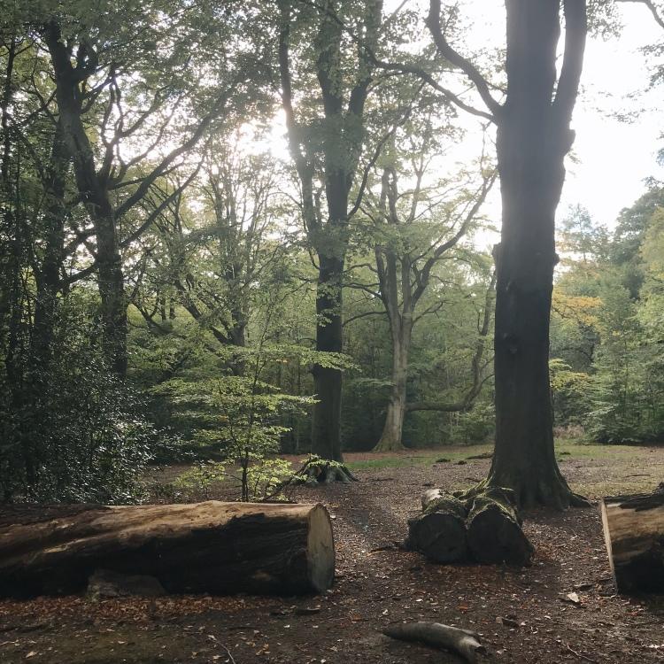 Beech trees, Ecclesall Woods Sheffield